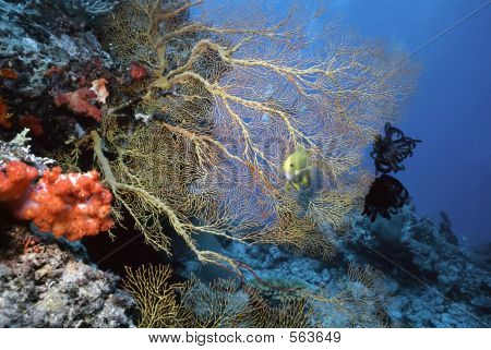 Solomon Sea Fan