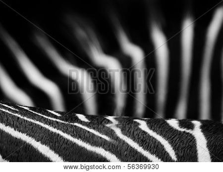 Zebra Stipes