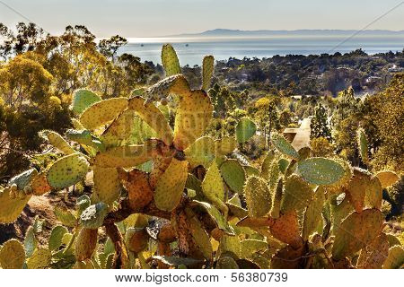 Green Prickly Pear Cactus Morning Pacific Ocean Landscape Channel Islands Santa Barbara California