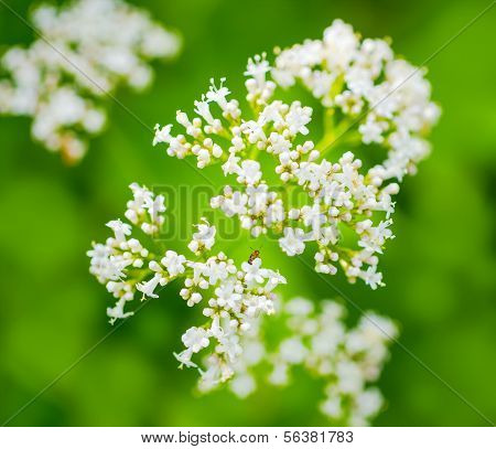 Valerian Flower With An Insect, Green Blurred Background