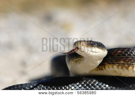 Adult Black Rat Snake