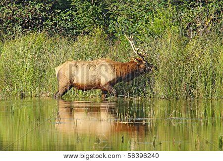 Male Roosevelt Elk In Prairie Creek Redwoods State Park, California