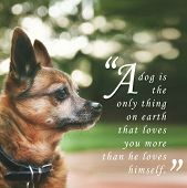 "a handsome chihuahua mix senior dog with dark muted tones and a quote: ""a dog is the only thing on earth that loves you more than he loves himself"" poster"