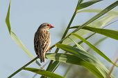 A Red-billed Quelea (Quelea quelea) perched on a stalk of grass poster