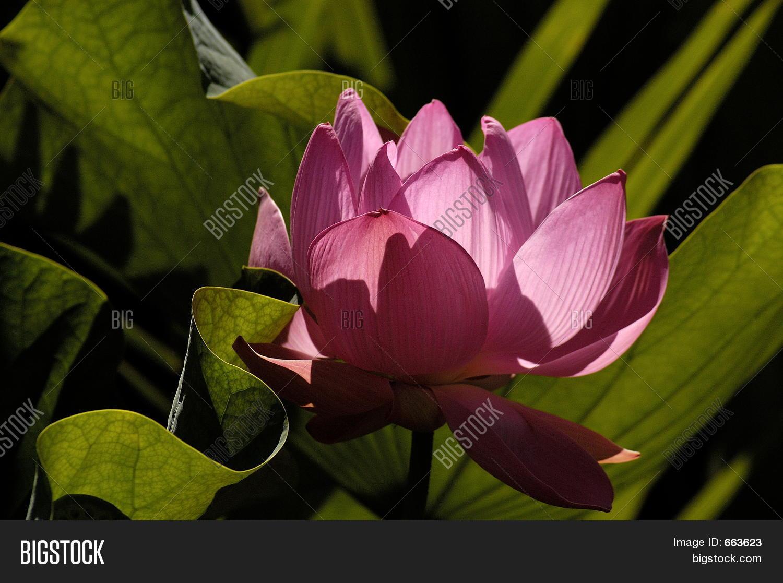 Hindu Lotus Flower Image Photo Free Trial Bigstock