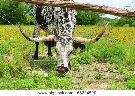 Longhorn eating grass