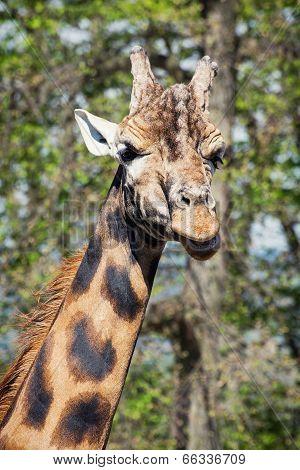 Portrait Of An One Giraffe