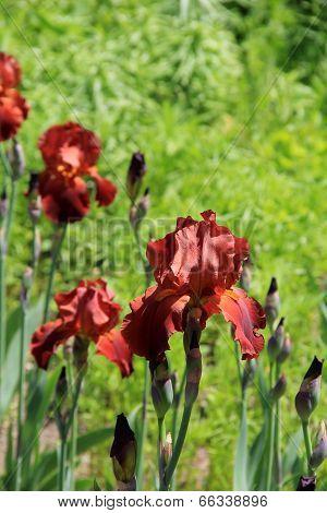 Colorful Bearded Iris in meadow