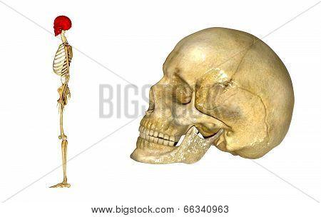 Human Skull_Side view