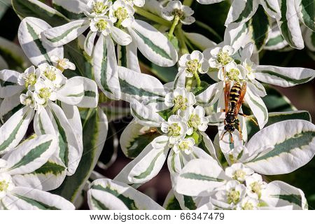 European Wasp On White Flowers