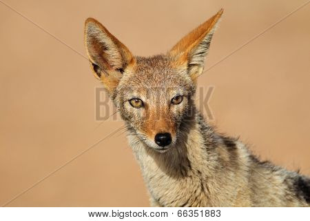 Portrait of a black-backed Jackal (Canis mesomelas), Kalahari desert, South Africa
