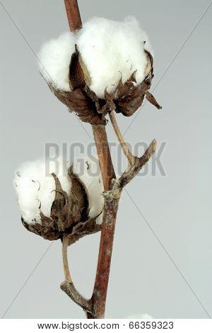 Cotton plant on grey background