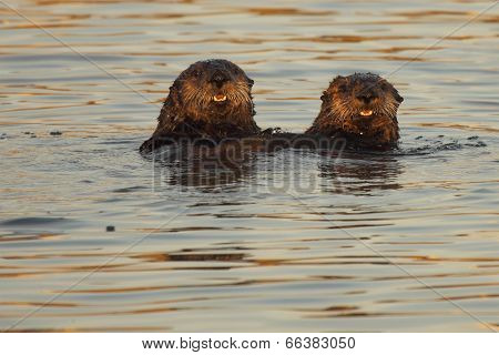 Pair Of Sea Otters