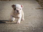 puppy running - english bulldog puppy outside poster
