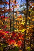 Foliage of colorful fall maple trees in autumn forest viewed from Lookout trail at Algonquin Park, Ontario, Canada. poster