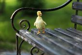 Little cute duckling on bench in the park poster
