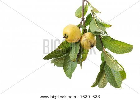 two organic guavas, biological cultivated, in a tree branch, isolated on white