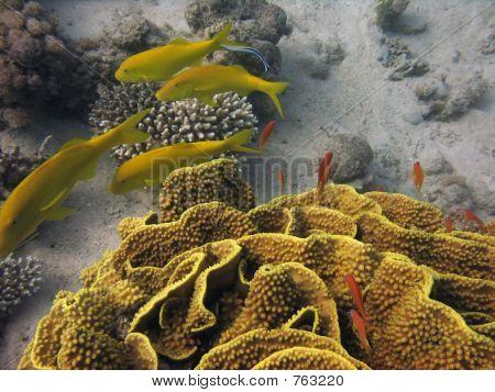 yellow hard coral