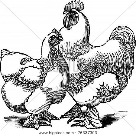 Hen And Rooster Of Cochin Or Cochin China (chicken) Vintage Engraving