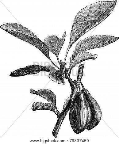 Damson Or Prunus Insititia Vintage Engraving