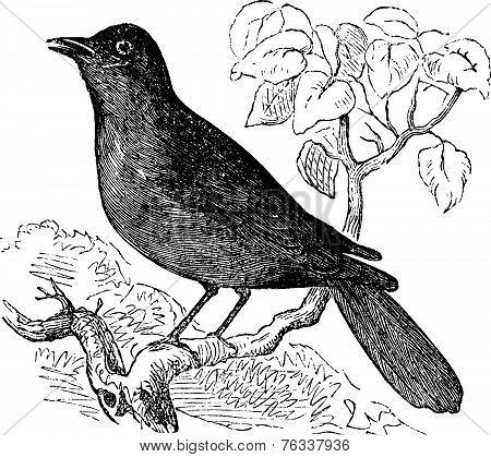 Great Reed Warbler Or Acrocephalus Arundinaceus Vintage Engraving