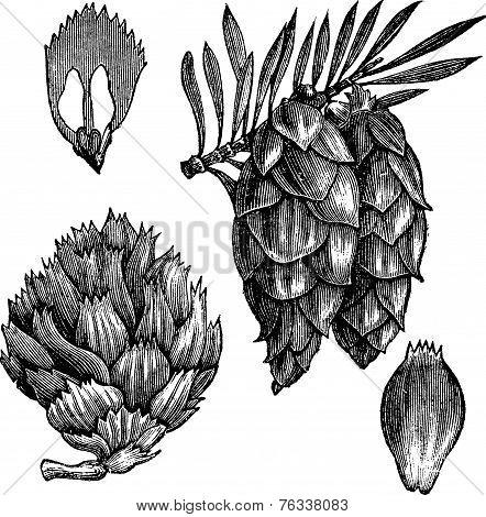 Black Spruce Or Picea Mariana Vintage Engraving