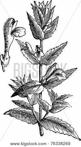 Common Skullcap Or Scutellaria Galericulata Vintage Engraving