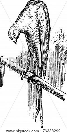 Belgian Canary Vintage Engraving