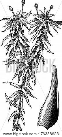Small Red Peat Moss Or Sphagnum Capillifolium Vintage Engraving