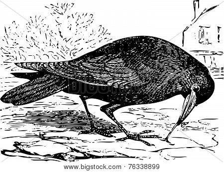 Old Engraving Of A Rook Bird, Or Corvus Frugilegus