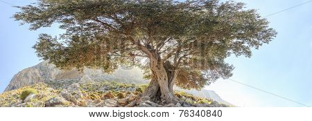 Centuries old branchy olive tree with panoramic view poster