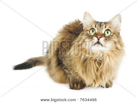 Fluffy cat looking up. Round eyes. Copy space. Isolated on white. Studio shot poster