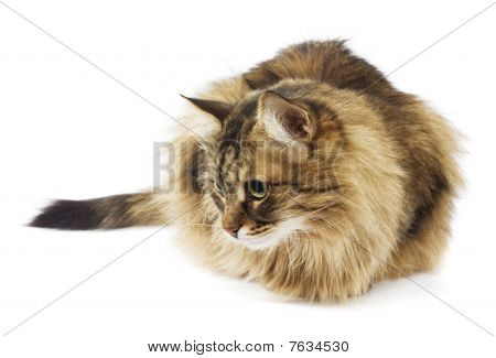 Fluffy cat looking. Isolated