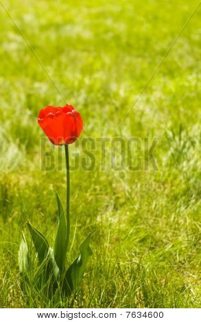 Alone flower tulip outdoor. Green pattern. Copy space