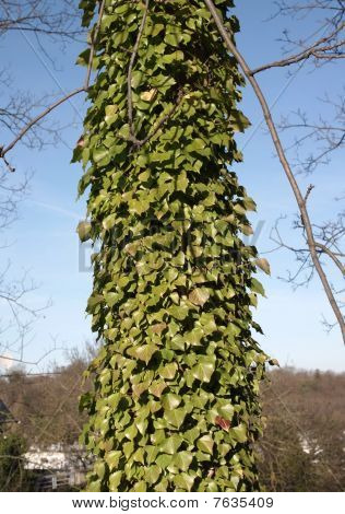 Ivy Smothered Tree