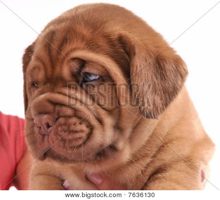 Portrait Of Dogue De  Bordeaux Puppy
