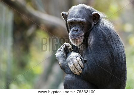 portrait of a sly chimpanzee
