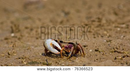 Atlantic Marsh Fiddler Crab