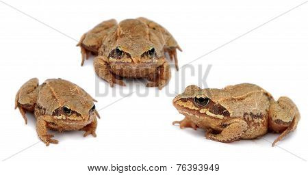 common toad bufo . Set. Three toads isolated on white background.