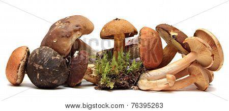 Wild Foraged Mushroom selection isolated on white background,  Boletus Edulis mushrooms