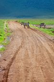 Zebra walking at road in Ngorongoro conservation area in Tanzania poster