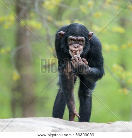 Chimpanzee II