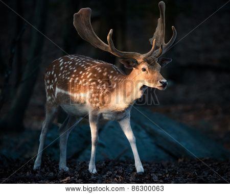 Eurasian Fallow Deer