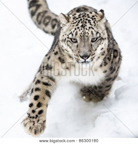 Snow Leopard On The Prowl VI