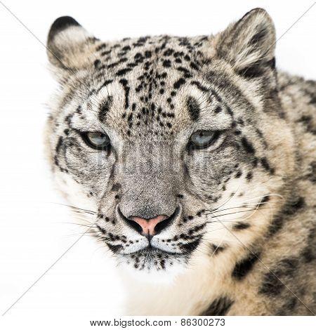 Snow Leopard XVI