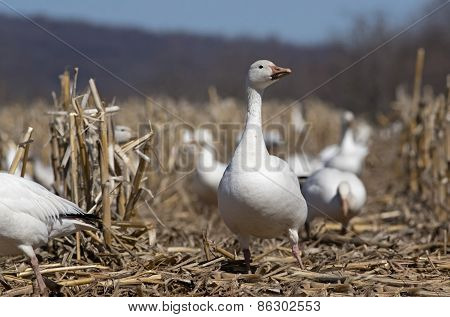 Greater Snow Geese in Corn Field