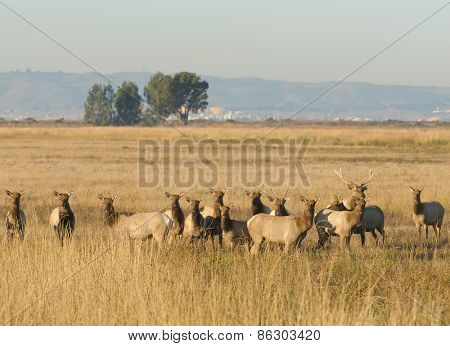 Tule elk herd on Grizzly Island, a Northern California wildlife refuge