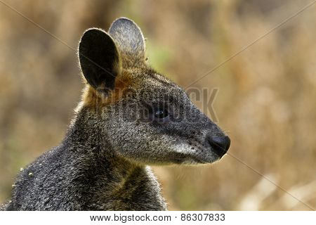 Wallaby At Tower Hill Reserve In Victoria, Australia