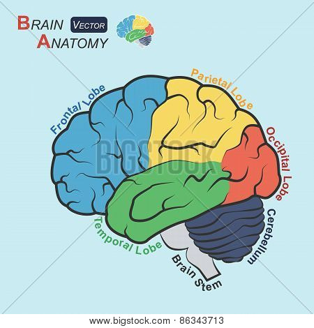 Brain Anatomy ( Flat Design )