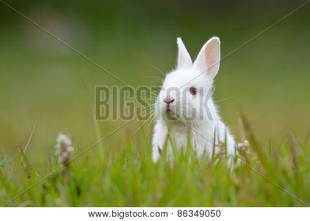 White Baby Rabbit In Grass